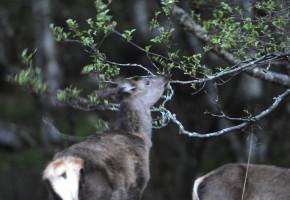 Hjorten er tilpasningsdyktig til ulike typer beite