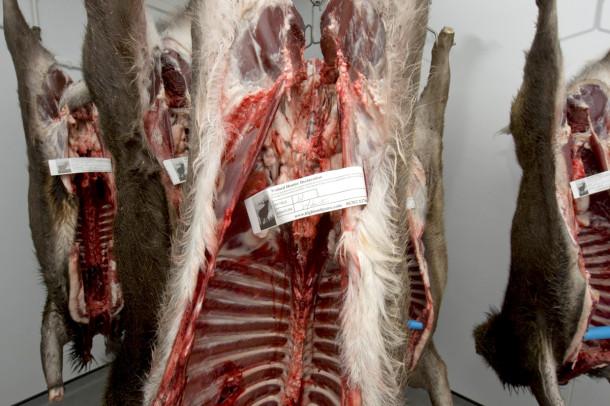 Feltkontrollert kjøtt skal være sporbart og tagges derfor med blant annet feltkontrollørens id-nummer. Bildet er av feltkontrollerte skrotter i Skottland. (Foto: Johan Trygve Solheim)
