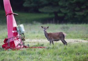 Hjortekolle på sommerbeite