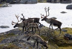 Svake fellingstall i Nordfjella