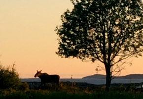 Varm sommer kan føre til lite mat til hjortedyra