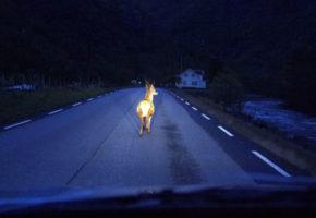 Kva kan Vegvesenet gjera for å redusera hjortepåkøyrsler?