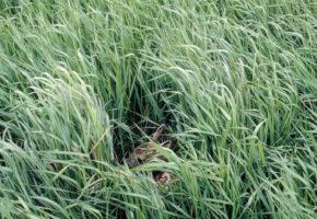 Ta hensyn til hjorteviltet i kalvingstida