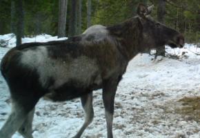 Fortsatt en gåte hvorfor noen elg blir hårløse om vinteren