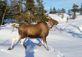 Merking av hjortedyr gir verdifull informasjon