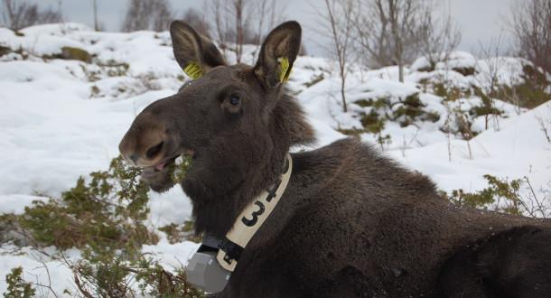 Elgen drar seere på NRK