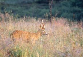 Parykkhorn hjå hjortedyr