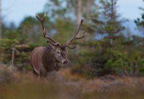 Jakta påvirker hjortens flukt