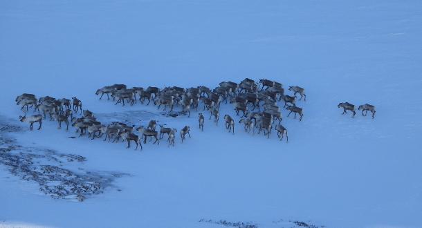 Uttak av villrein i Nordfjella sone 2 vinteren 2019