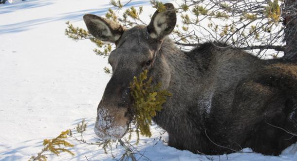 Hardt år for elgene i Sør-Norge