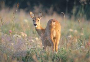 Kanadiske hjortejegere syke av parasitt