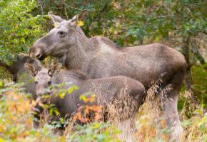 Må jakte 80 prosent mer elg og hjort