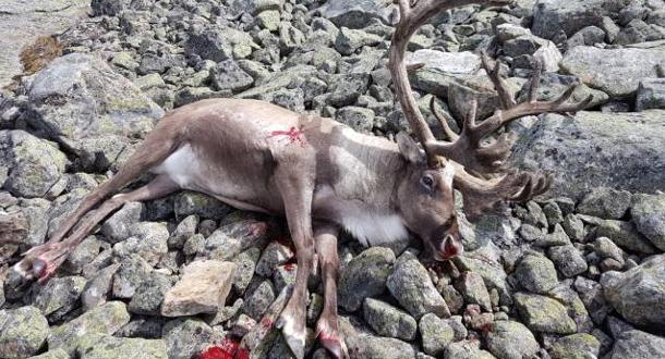 Jakttid og kvote for villrein på Hardangervidda er bestemt