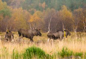Foreslår endringer i jakttid på elg og hjort