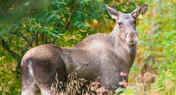 Skrantesjuke bekfreftet på elg i Selbu