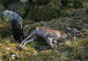 Hjortekalver blir fritt vilt
