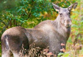 Har du vært på elgjakt i høst?