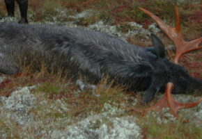 Miljødirektoratet utvider jakttid for elg og hjort