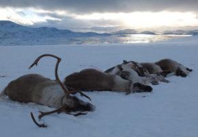 Sju av ti støttet myndighetenes avgjørelse om å felle villreinstammen i Nordfjella grunnet skrantesjuke