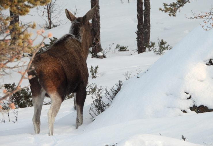 Mistanke om atypisk skrantesjuke på elg