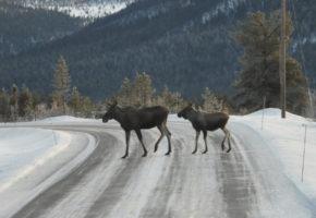 Tusenvis av hjortevilt dør årlig i trafikken