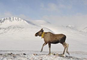 Elgen går på sparebluss om vinteren
