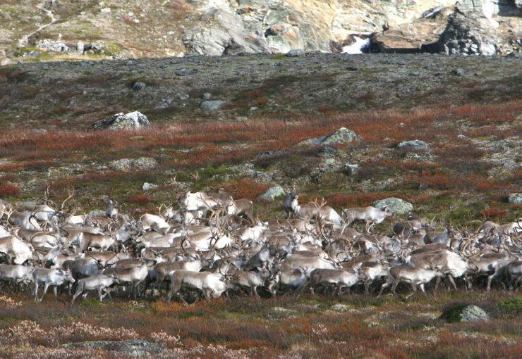 Planlegger reetablering av en frisk villreinbestand i Nordfjella